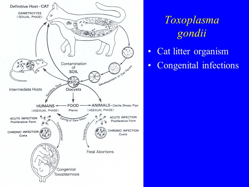 Toxoplasma gondii Cat litter organism Congenital infections