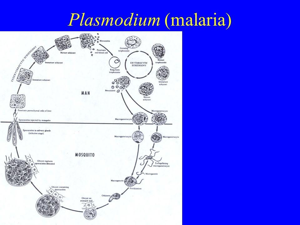 Plasmodium (malaria)