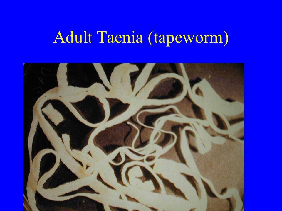 Adult Taenia (tapeworm)