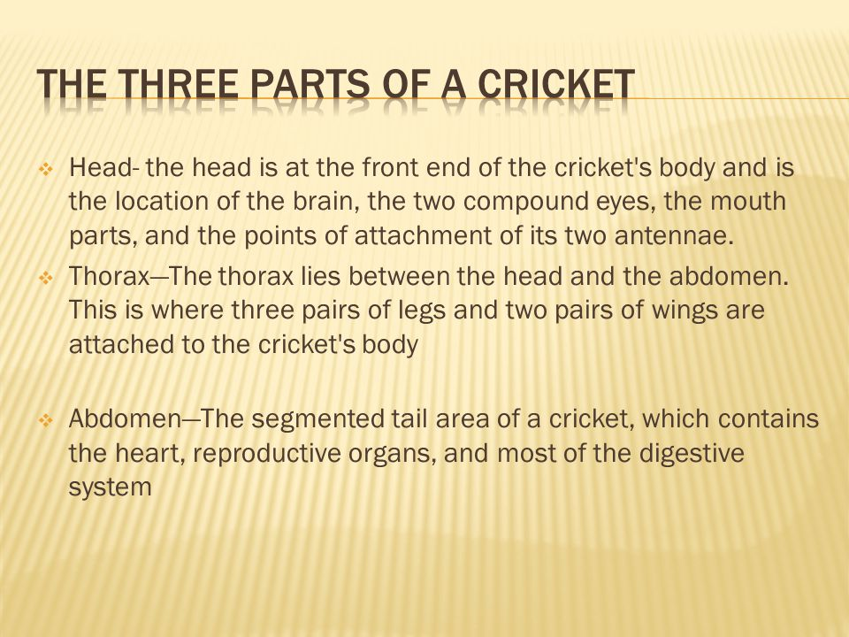  Head- the head is at the front end of the cricket's body and is the location of the brain, the two compound eyes, the mouth parts, and the points of