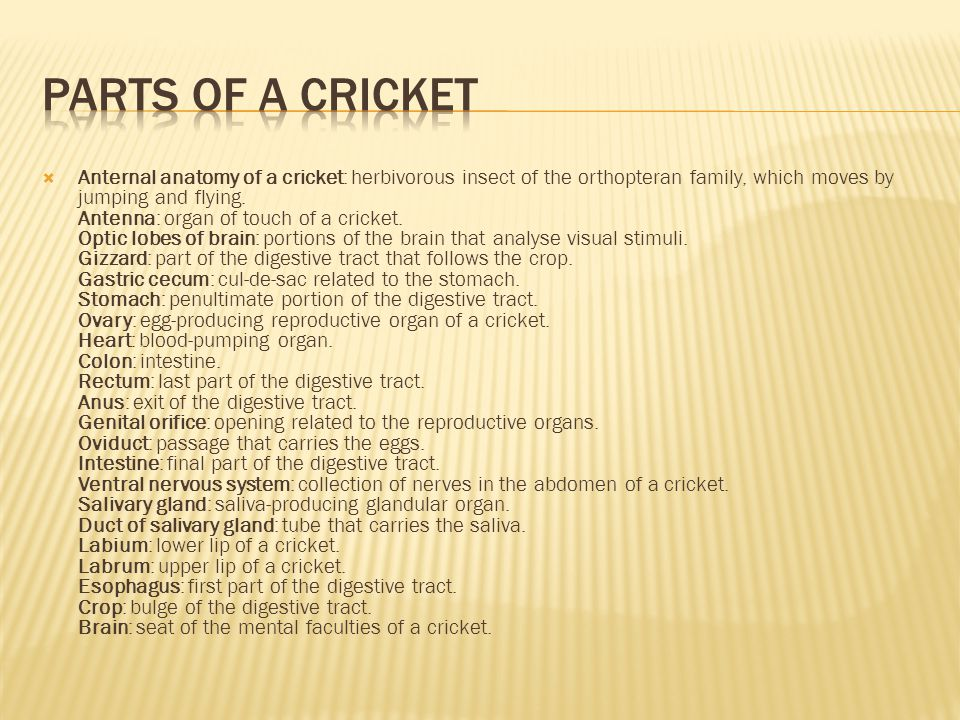  Anternal anatomy of a cricket: herbivorous insect of the orthopteran family, which moves by jumping and flying. Antenna: organ of touch of a cricket