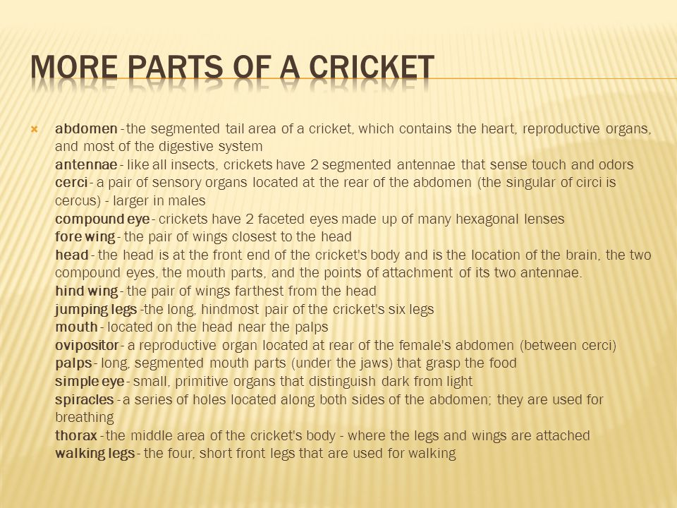  Crickets breathe through a series of holes called spiracles; they are located along the sides of the body