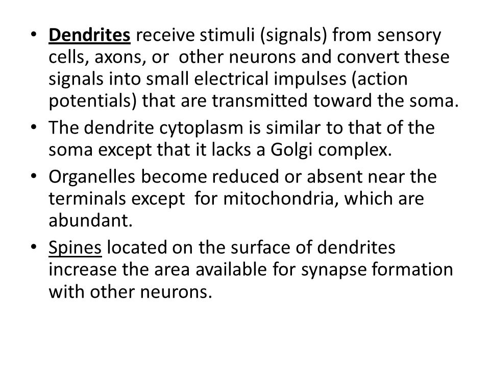 Dendrites receive stimuli (signals) from sensory cells, axons, or other neurons and convert these signals into small electrical impulses (action poten
