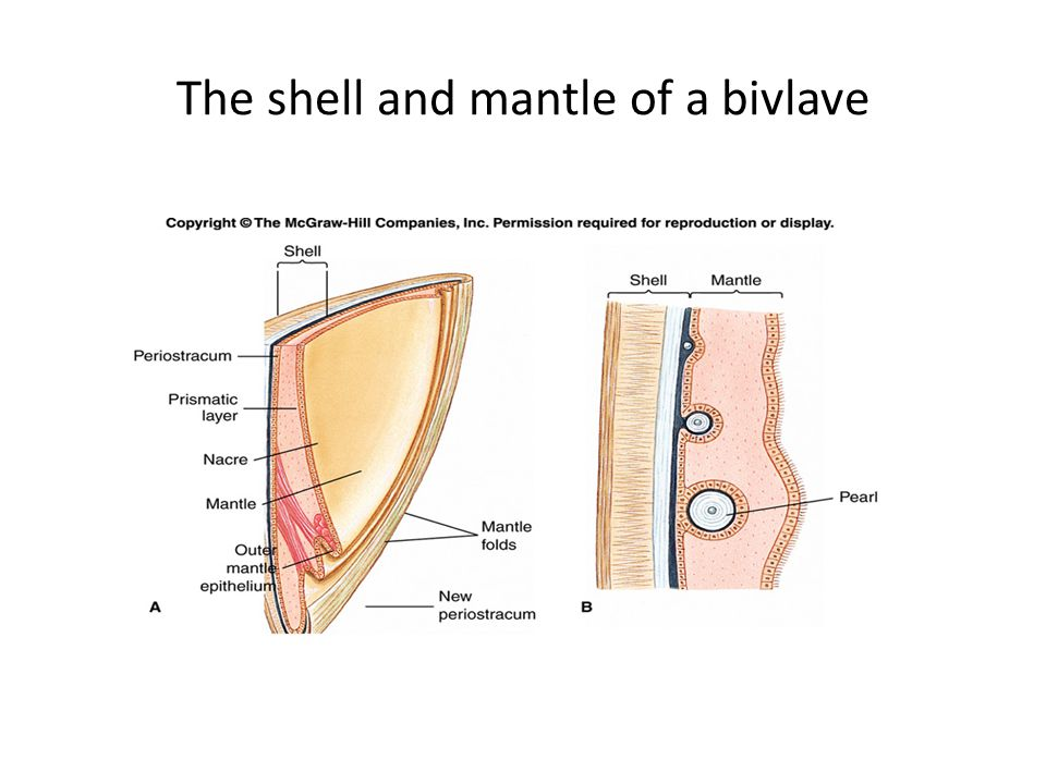 The shell and mantle of a bivlave