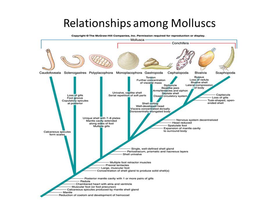 Relationships among Molluscs