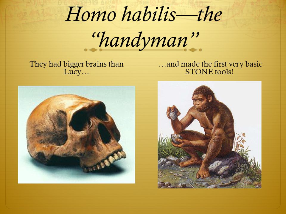 Homo habilis—the handyman They had bigger brains than Lucy… …and made the first very basic STONE tools!