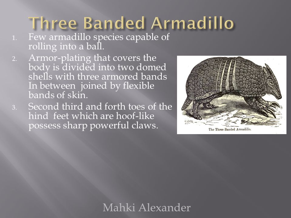 1.Few armadillo species capable of rolling into a ball.