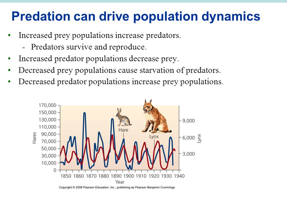Predation can drive population dynamics Increased prey populations increase predators.