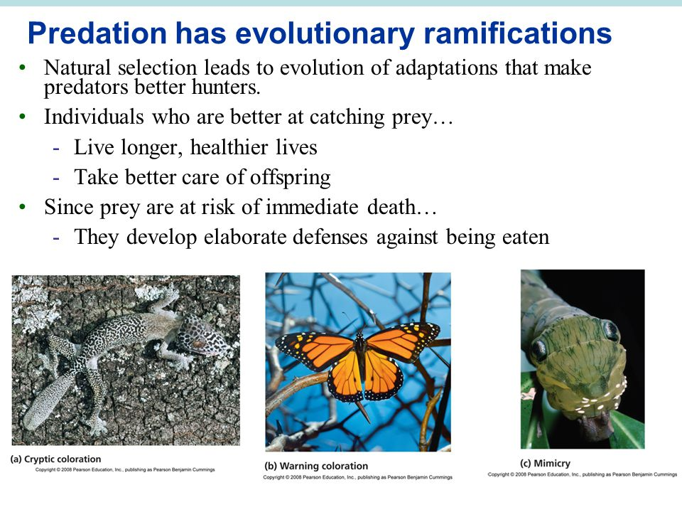 Predation has evolutionary ramifications Natural selection leads to evolution of adaptations that make predators better hunters.