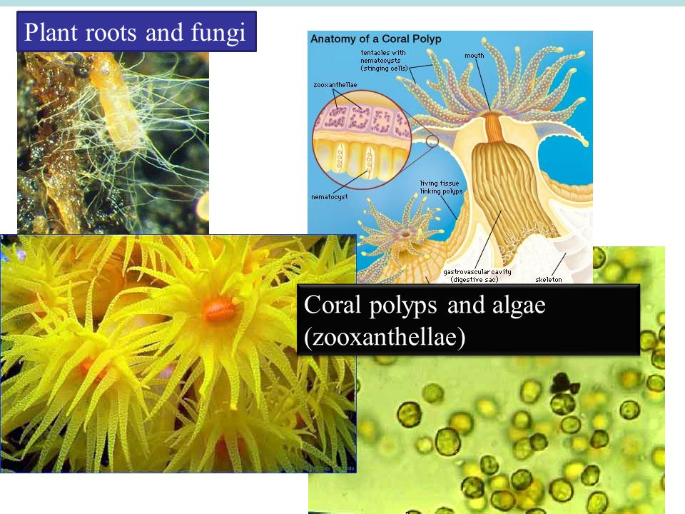 Plant roots and fungi Coral polyps and algae (zooxanthellae)