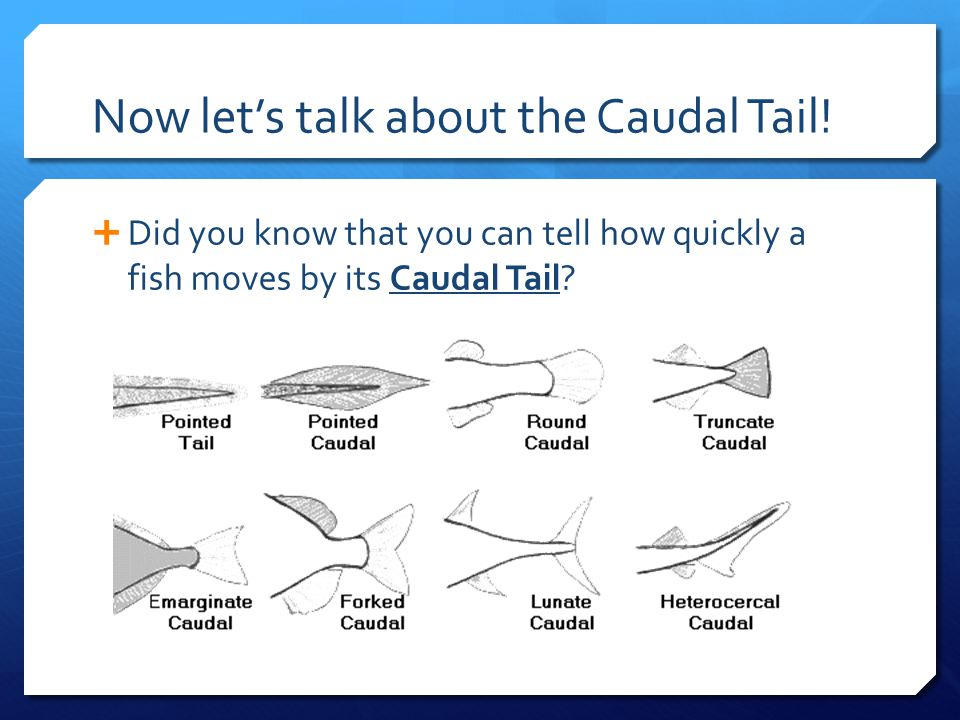 Now let's talk about the Caudal Tail!  Did you know that you can tell how quickly a fish moves by its Caudal Tail?