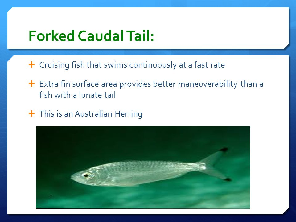 Forked Caudal Tail:  Cruising fish that swims continuously at a fast rate  Extra fin surface area provides better maneuverability than a fish with a