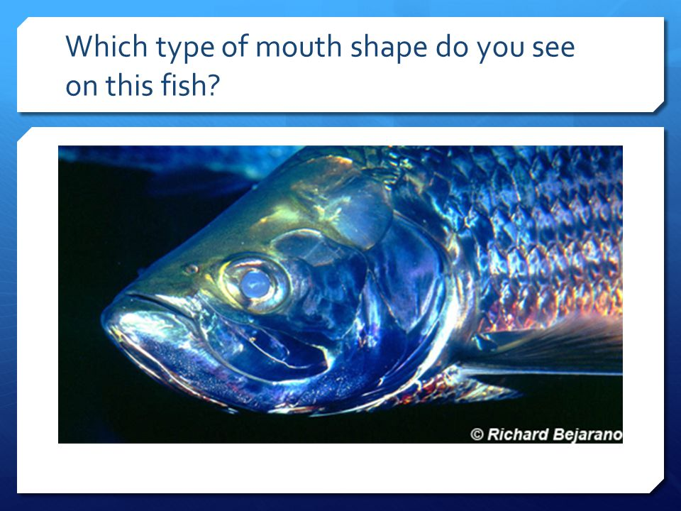 Which type of mouth shape do you see on this fish?
