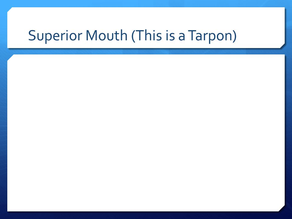 Superior Mouth (This is a Tarpon)