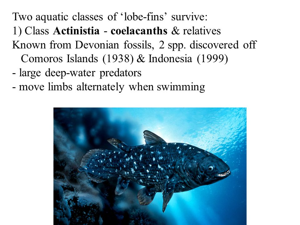 Two aquatic classes of 'lobe-fins' survive: 1) Class Actinistia - coelacanths & relatives Known from Devonian fossils, 2 spp. discovered off Comoros I