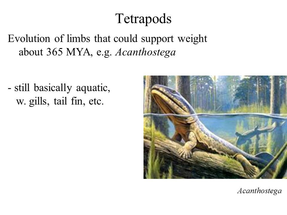 Tetrapods Evolution of limbs that could support weight about 365 MYA, e.g. Acanthostega Acanthostega - still basically aquatic, w. gills, tail fin, et