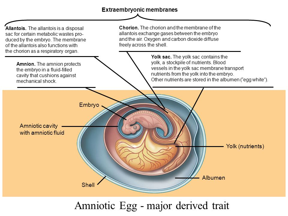 Shell Albumen Yolk (nutrients) Amniotic cavity with amniotic fluid Embryo Yolk sac. The yolk sac contains the yolk, a stockpile of nutrients. Blood ve