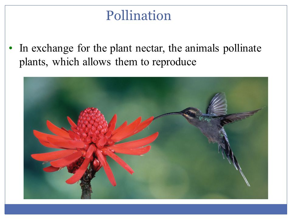 Pollination In exchange for the plant nectar, the animals pollinate plants, which allows them to reproduce