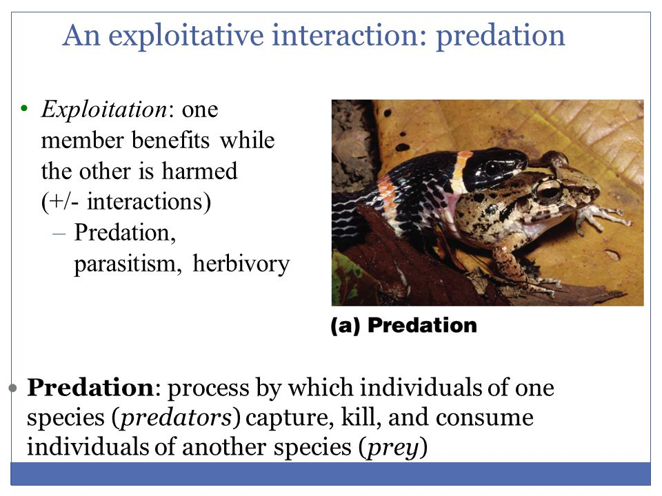 An exploitative interaction: predation Predation: process by which individuals of one species (predators) capture, kill, and consume individuals of an