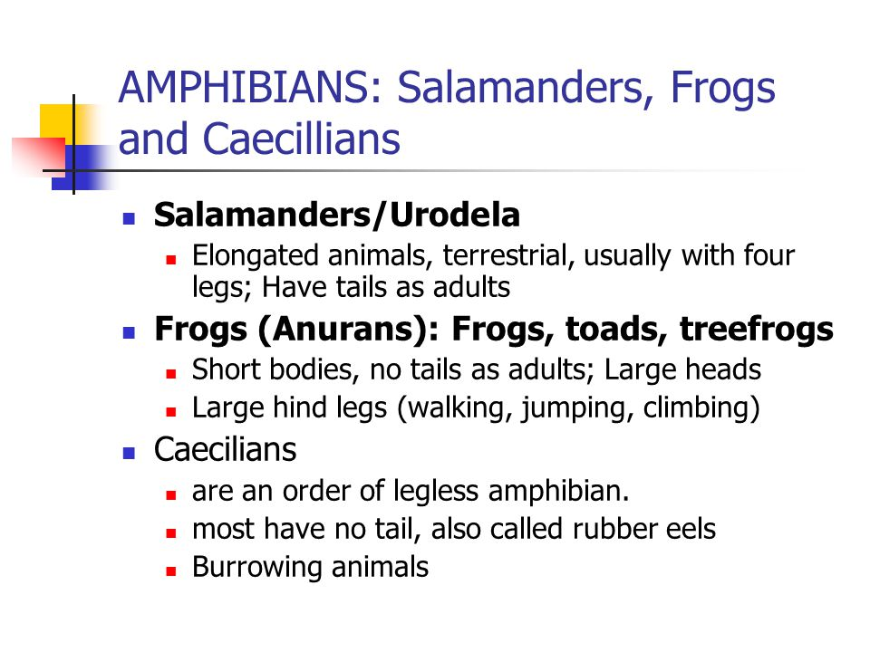 AMPHIBIANS: Salamanders, Frogs and Caecillians Salamanders/Urodela Elongated animals, terrestrial, usually with four legs; Have tails as adults Frogs (Anurans): Frogs, toads, treefrogs Short bodies, no tails as adults; Large heads Large hind legs (walking, jumping, climbing) Caecilians are an order of legless amphibian.