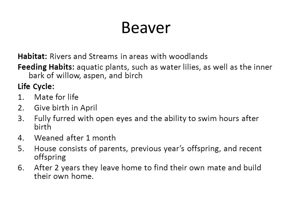 Habitat: Rivers and Streams in areas with woodlands Feeding Habits: aquatic plants, such as water lilies, as well as the inner bark of willow, aspen, and birch Life Cycle: 1.Mate for life 2.Give birth in April 3.Fully furred with open eyes and the ability to swim hours after birth 4.Weaned after 1 month 5.House consists of parents, previous year's offspring, and recent offspring 6.After 2 years they leave home to find their own mate and build their own home.