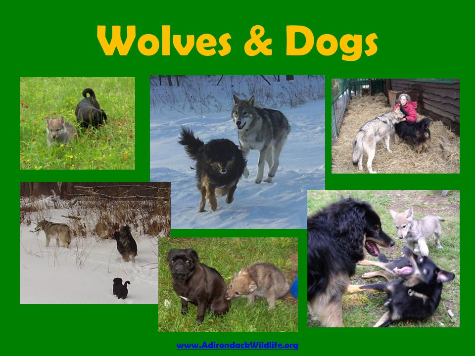 Wolves & Dogs www.AdirondackWildlife.org