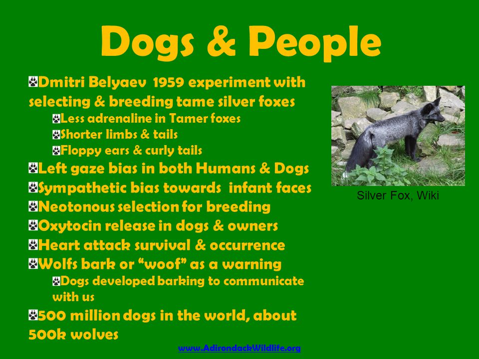 Dogs & People www.AdirondackWildlife.org Dmitri Belyaev 1959 experiment with selecting & breeding tame silver foxes Less adrenaline in Tamer foxes Shorter limbs & tails Floppy ears & curly tails Left gaze bias in both Humans & Dogs Sympathetic bias towards infant faces Neotonous selection for breeding Oxytocin release in dogs & owners Heart attack survival & occurrence Wolfs bark or woof as a warning Dogs developed barking to communicate with us 500 million dogs in the world, about 500k wolves Silver Fox, Wiki