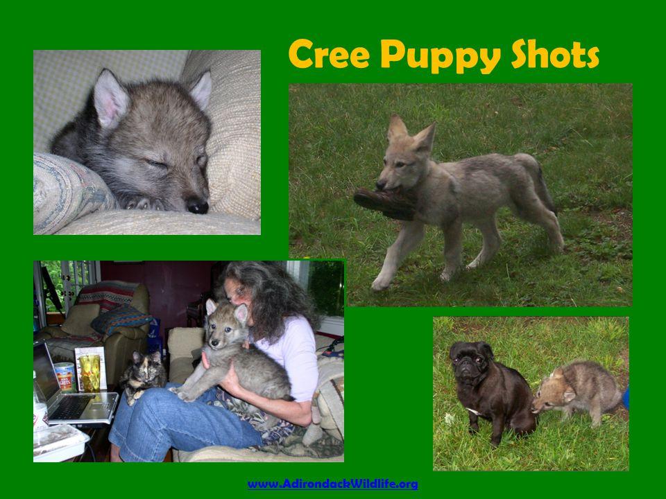 Cree Puppy Shots www.AdirondackWildlife.org
