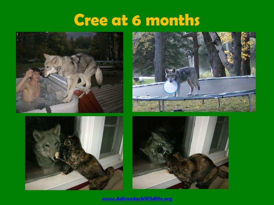 Cree at 6 months www.AdirondackWildlife.org