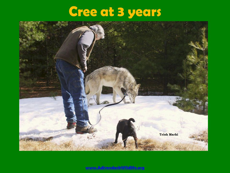 Cree at 3 years www.AdirondackWildlife.org
