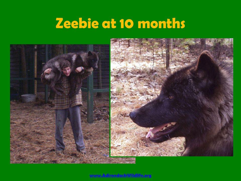Zeebie at 10 months www.AdirondackWildlife.org