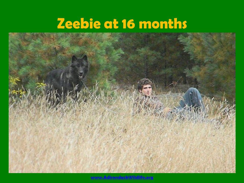 Zeebie at 16 months www.AdirondackWildlife.org