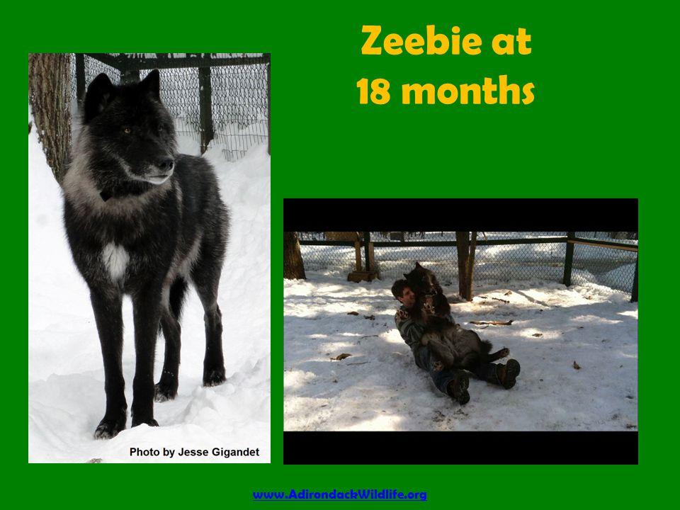 Zeebie at 18 months www.AdirondackWildlife.org