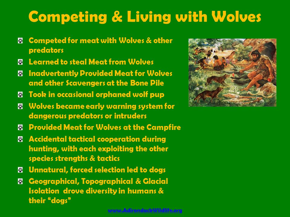 Competing & Living with Wolves Competed for meat with Wolves & other predators Learned to steal Meat from Wolves Inadvertently Provided Meat for Wolves and other Scavengers at the Bone Pile Took in occasional orphaned wolf pup Wolves became early warning system for dangerous predators or intruders Provided Meat for Wolves at the Campfire Accidental tactical cooperation during hunting, with each exploiting the other species strengths & tactics Unnatural, forced selection led to dogs Geographical, Topographical & Glacial Isolation drove diversity in humans & their dogs www.AdirondackWildlife.org