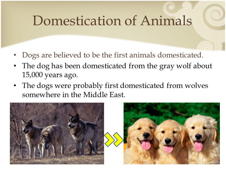 Domestication of Animals http://natnotgnat.hubpages.com/hub/The-Domestication-of-the-Dog-Fox-Cattle-and-Sheep#slide11851406