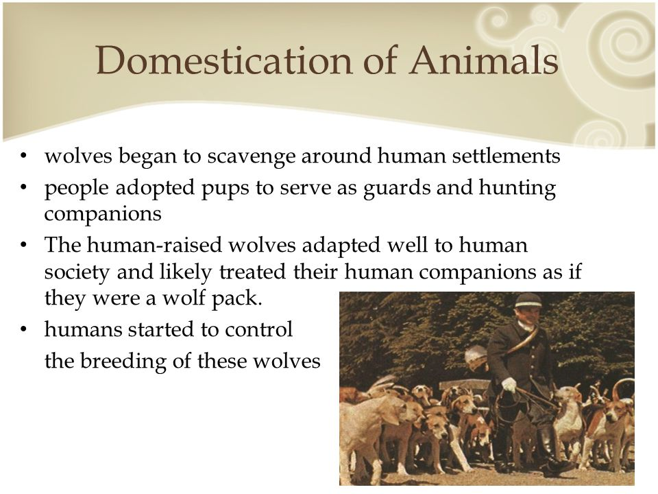 Domestication of Animals wolves began to scavenge around human settlements people adopted pups to serve as guards and hunting companions The human-raised wolves adapted well to human society and likely treated their human companions as if they were a wolf pack.