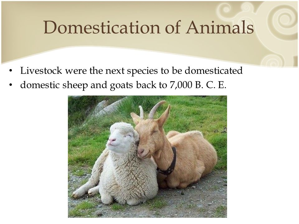 Domestication of Animals Domestic cattle ( Bos taurus ) appear in 6,000 years ago in Egypt and Mesopotamia.