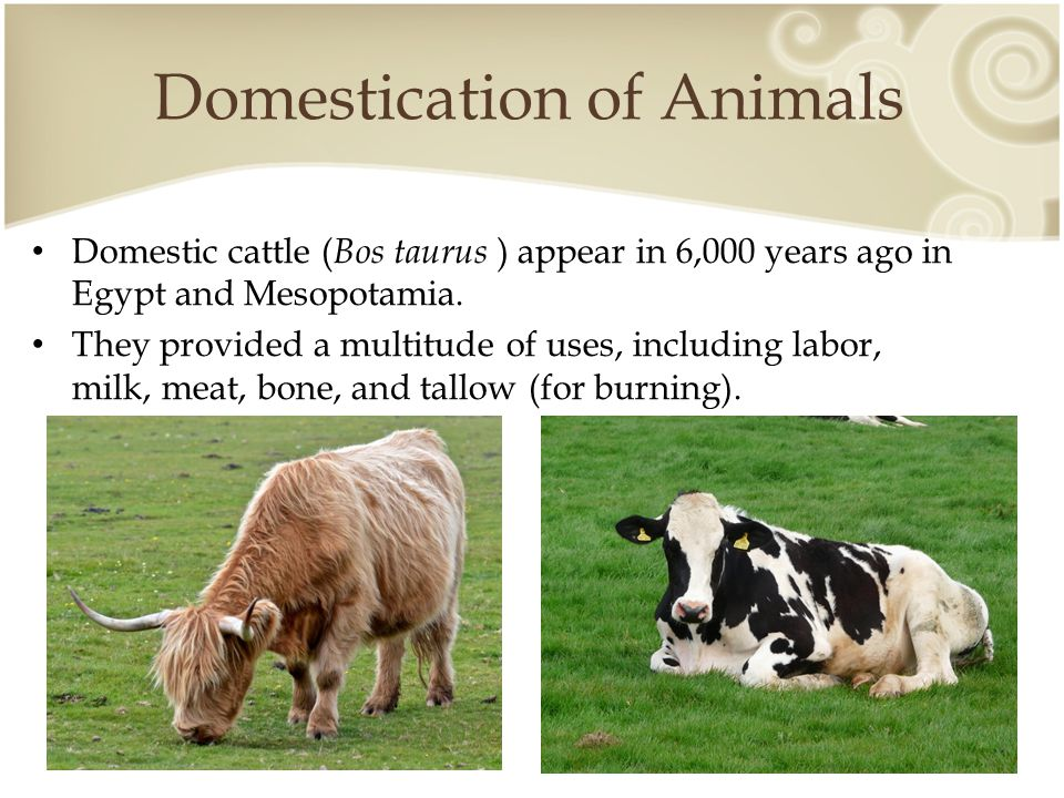 Domestication of Animals Pigs were domesticated from the wild boar ( Sus scrofa ) around the same time as cattle.