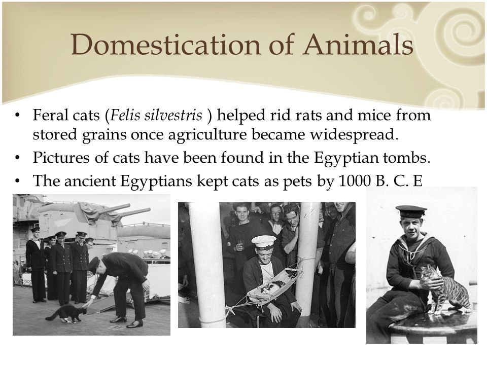 Domestication of Animals Feral cats ( Felis silvestris ) helped rid rats and mice from stored grains once agriculture became widespread.