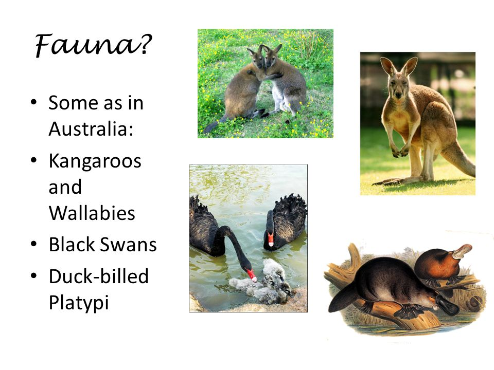 But….. Tasmanian pygmy opposum Tasmanian water hen Tasmanian yellow wattle bird