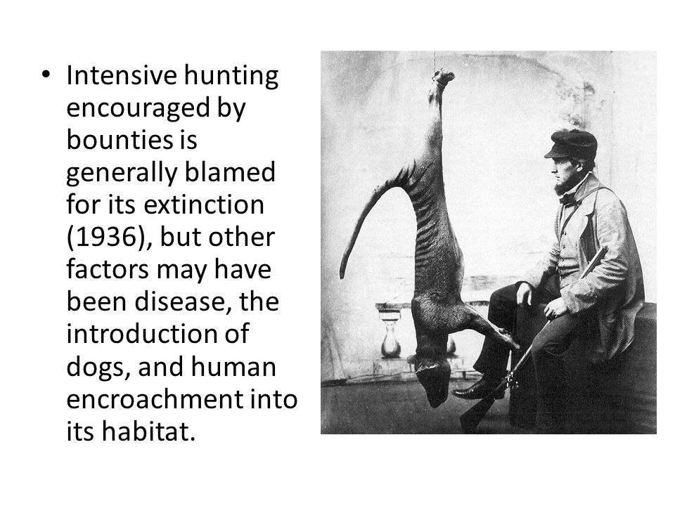 Intensive hunting encouraged by bounties is generally blamed for its extinction (1936), but other factors may have been disease, the introduction of d