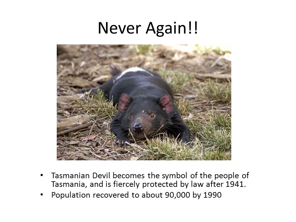 A carnivorous marsupial The size of a small dog, but stocky and muscular, the Tasmanian Devil is characterized by its black fur, offensive odor when stressed, extremely loud and disturbing screech, and ferocity when feeding.
