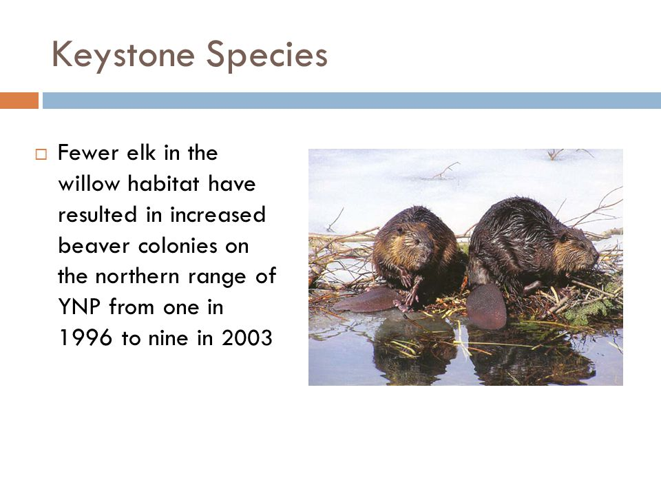 Keystone Species  Fewer elk in the willow habitat have resulted in increased beaver colonies on the northern range of YNP from one in 1996 to nine in