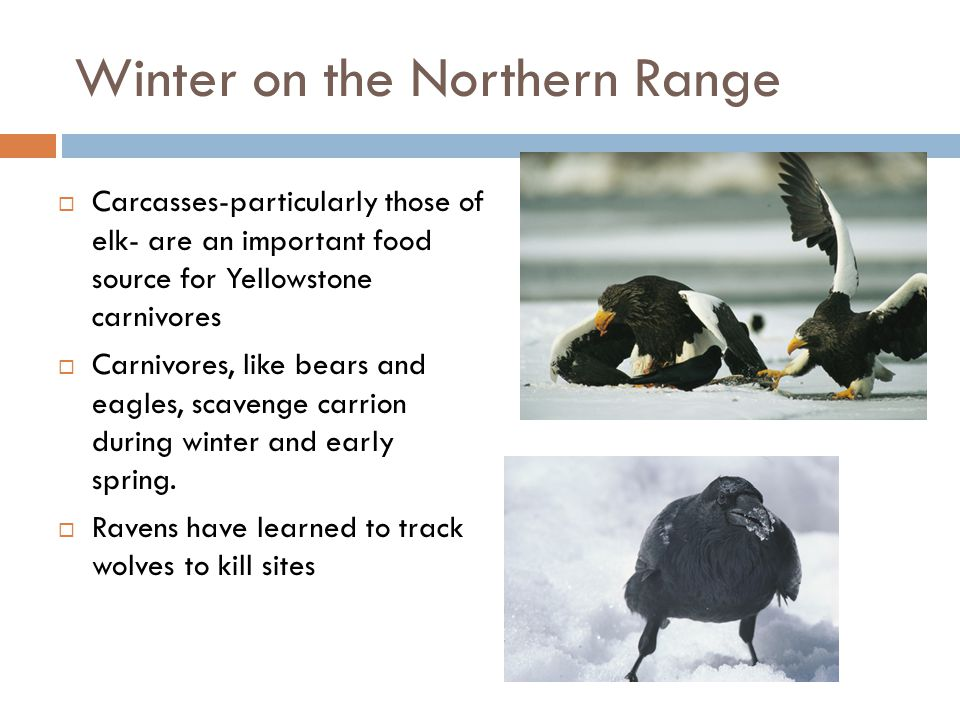 Winter on the Northern Range  Carcasses-particularly those of elk- are an important food source for Yellowstone carnivores  Carnivores, like bears a