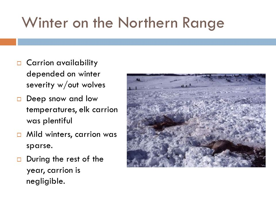 Winter on the Northern Range  Carrion availability depended on winter severity w/out wolves  Deep snow and low temperatures, elk carrion was plentif