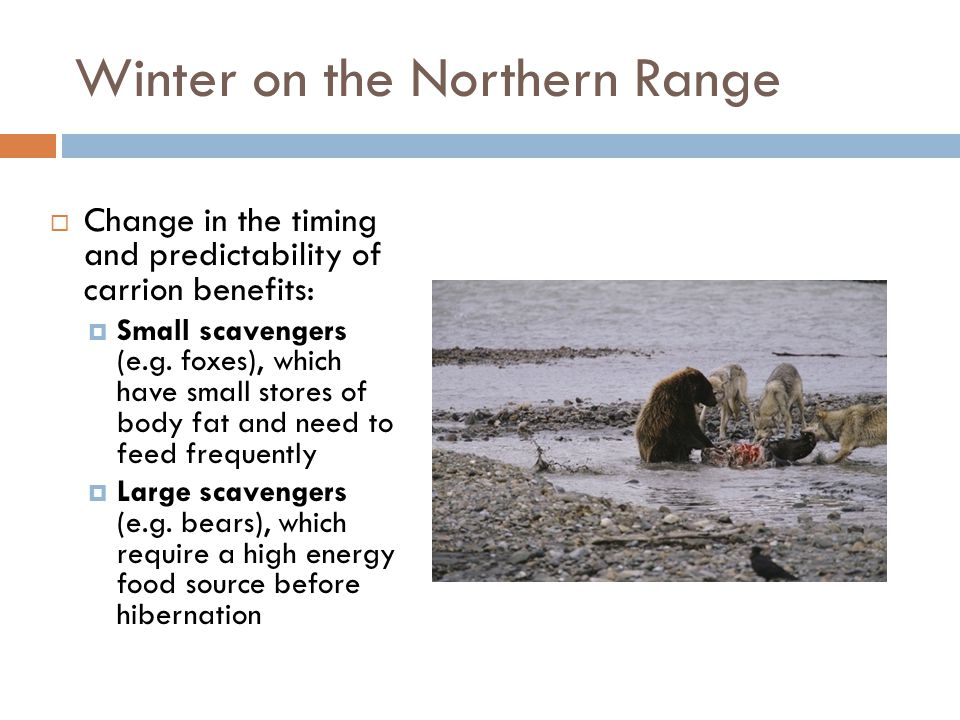 Winter on the Northern Range  Change in the timing and predictability of carrion benefits:  Small scavengers (e.g. foxes), which have small stores o