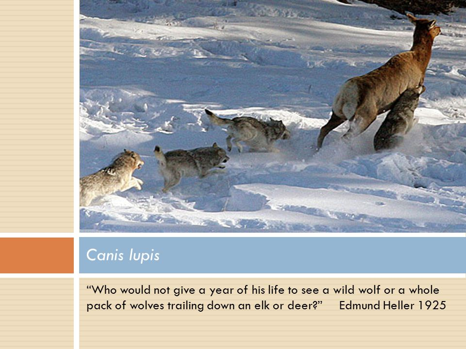 """Who would not give a year of his life to see a wild wolf or a whole pack of wolves trailing down an elk or deer?"" Edmund Heller 1925 Canis lupis"
