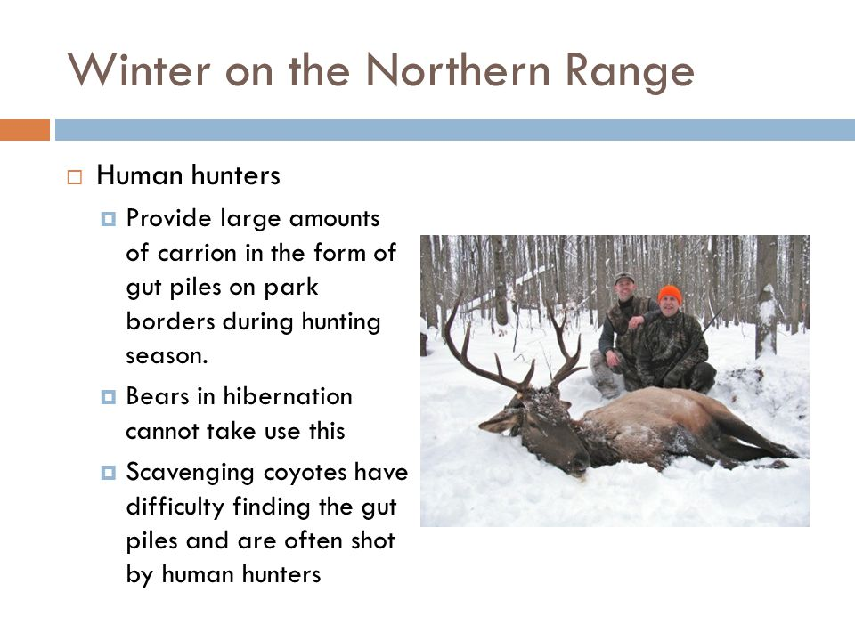 Winter on the Northern Range  Human hunters  Provide large amounts of carrion in the form of gut piles on park borders during hunting season.  Bear