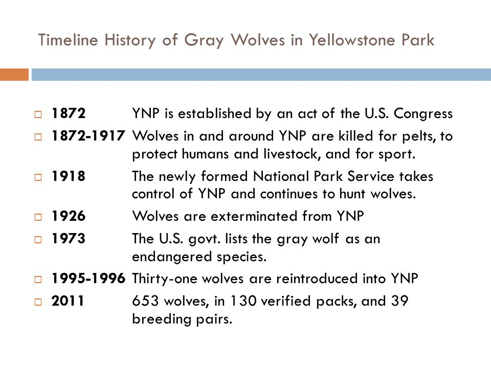 Timeline History of Gray Wolves in Yellowstone Park  1872YNP is established by an act of the U.S. Congress  1872-1917Wolves in and around YNP are ki