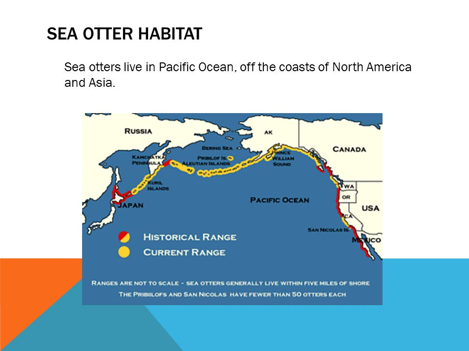 SEA OTTER HABITAT Sea otters live in Pacific Ocean, off the coasts of North America and Asia.